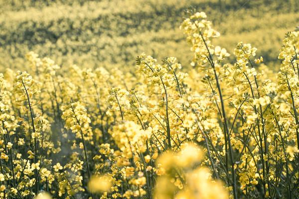 Field of rapeseed Stock photo © przemekklos