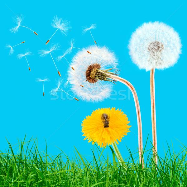 Amarelo leão grama blue sky primavera natureza Foto stock © przemekklos