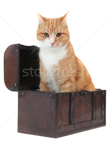 angry tomcat in treasure chest Stock photo © pterwort
