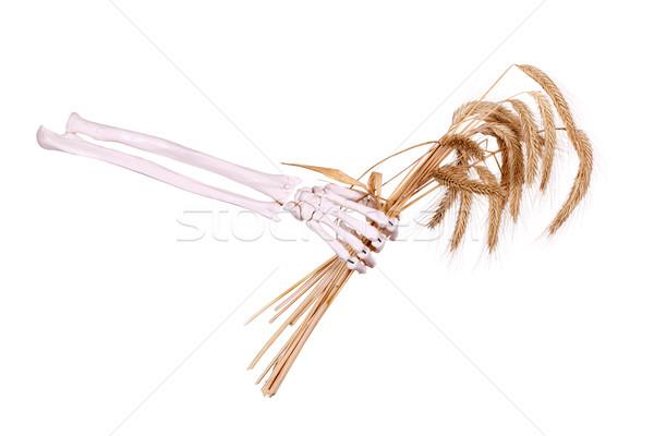 skeleton hand holding wheat Stock photo © pterwort