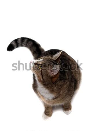 snoopy little cat Stock photo © pterwort