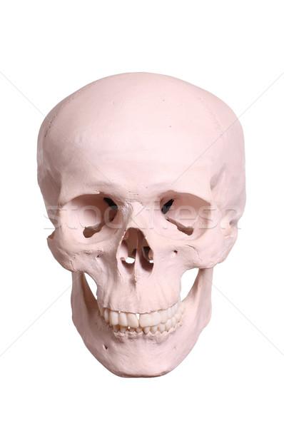 skull Stock photo © pterwort