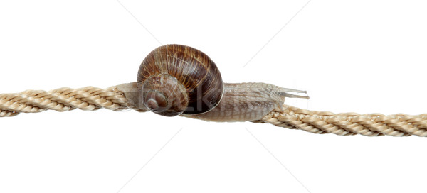 determined snail on rope Stock photo © pterwort