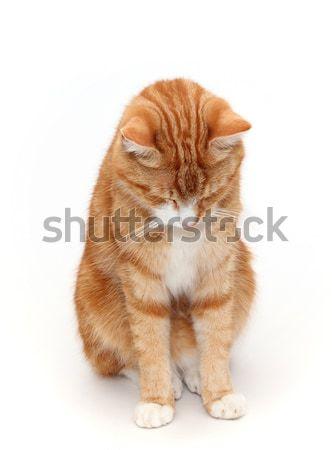 Szégyenkezve szem macska haj piros állat Stock fotó © pterwort