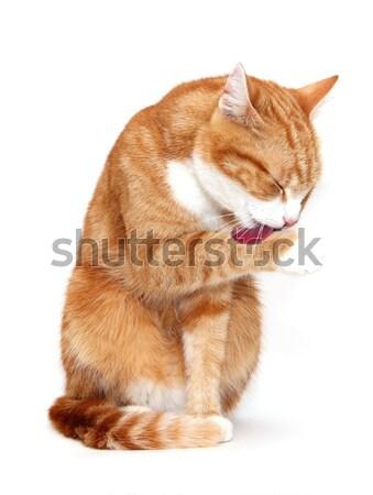 grooming tomcat Stock photo © pterwort
