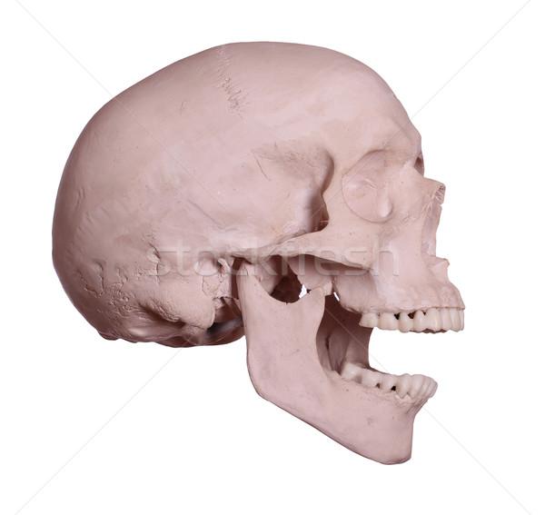 кричали череп человека медицинской здоровья медицина Сток-фото © pterwort