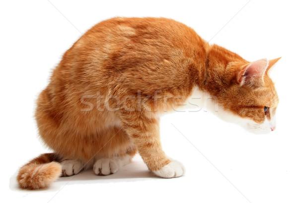 Honte chat oeil nature blanche recherche Photo stock © pterwort