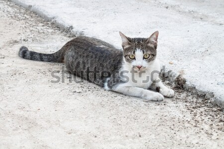 Young cat laying relax in home field Stock photo © punsayaporn