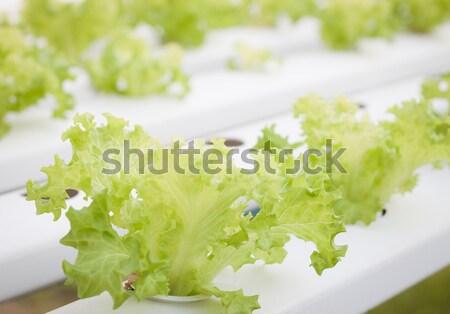 Zöld korall növények farm stock fotó Stock fotó © punsayaporn