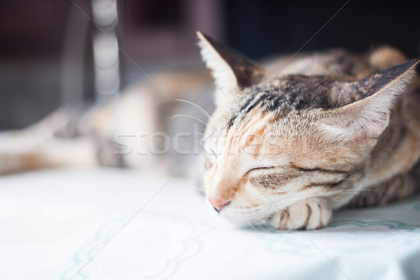 Adult female cat sleeping in the house Stock photo © punsayaporn