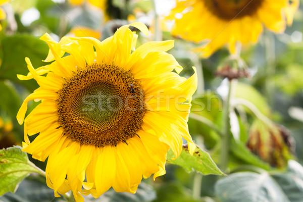 Gyönyörű napraforgó természetes stock fotó virág Stock fotó © punsayaporn