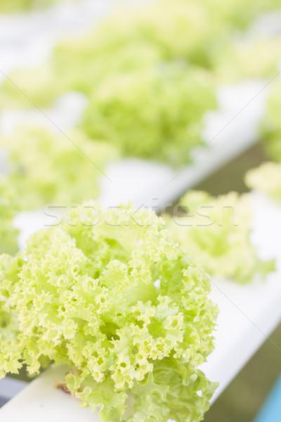Green coral plants on hydrophonic farm Stock photo © punsayaporn