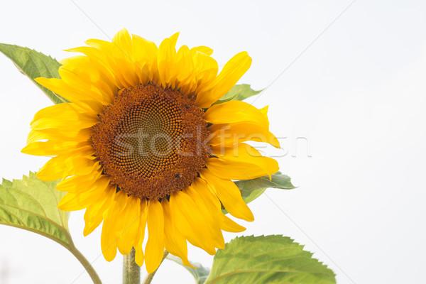 Güzel ayçiçeği doğal stok fotoğraf gökyüzü Stok fotoğraf © punsayaporn