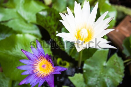 Beautiful bloom violet and white lotus on green leaf Stock photo © punsayaporn