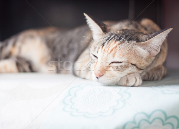 Siamese cat sleeping on the table Stock photo © punsayaporn