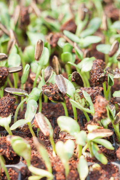 Sunflower seeds sprout in organic farm Stock photo © punsayaporn