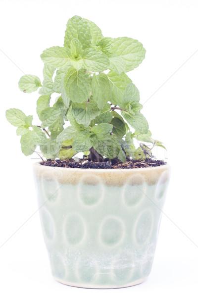 Zöld növény edény izolált fehér stock Stock fotó © punsayaporn