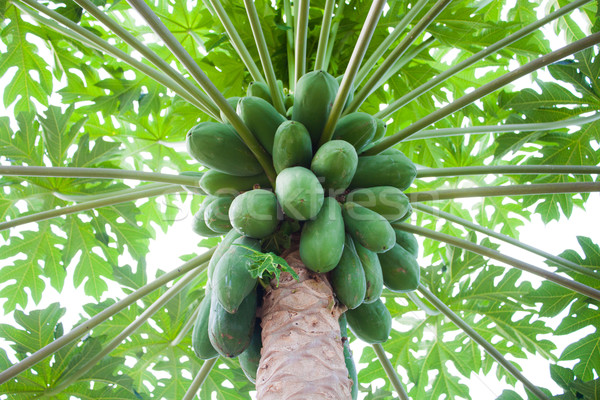 Papaya tree  Stock photo © punsayaporn