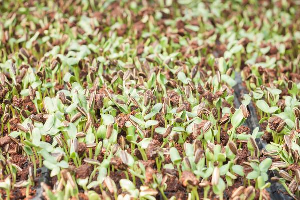 Girassol sementes orgânico fazenda estoque Foto stock © punsayaporn