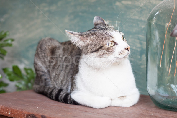 Siamese cat lying on wooden table Stock photo © punsayaporn