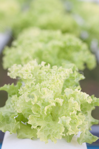 Closeup green coral plants on hydrophonic farm Stock photo © punsayaporn