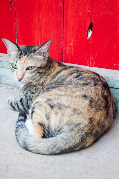 Sziámi macska kert fekszik otthon macska háttér Stock fotó © punsayaporn