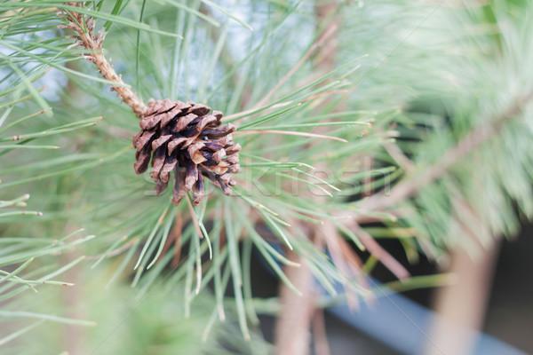 şube ağaç çam stok fotoğraf doku Stok fotoğraf © punsayaporn