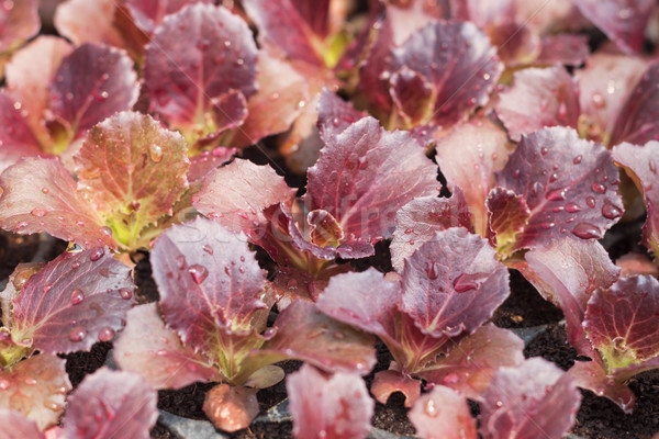 Young red coral salad plant in organic farm Stock photo © punsayaporn