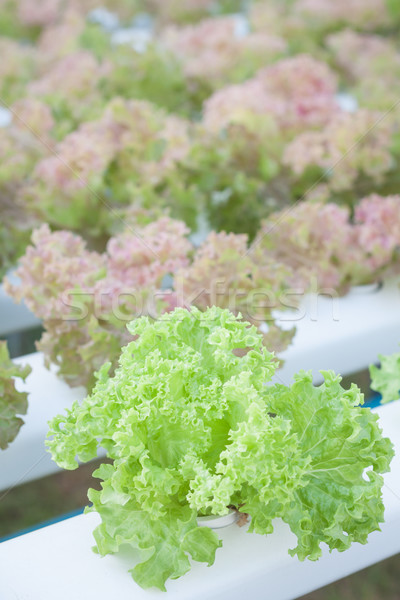 Green coral and red coral plants on hydrophonic farm Stock photo © punsayaporn
