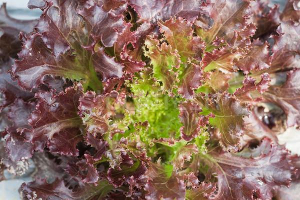 Red coral salad plant in organic farm Stock photo © punsayaporn