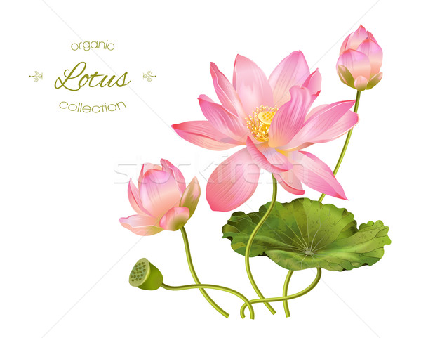 Lotos realistyczny ilustracja wektora kwiaty pozostawia Zdjęcia stock © PurpleBird