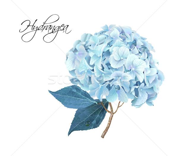 Hydrangea realistic illustration Stock photo © PurpleBird