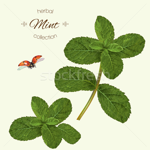 Realistic illustration of mint Stock photo © PurpleBird
