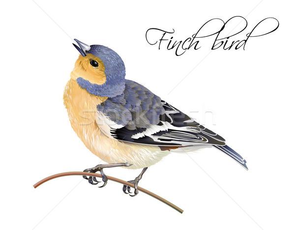 Finch bird illustration Stock photo © PurpleBird