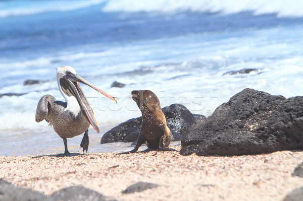 Baby Sea Lion and pelican, Galapagos Islands Stock photo © pxhidalgo