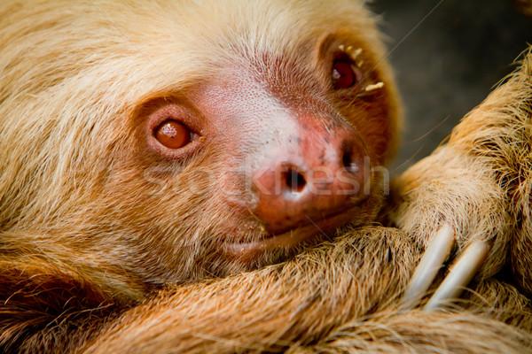 Young awake sloth in Ecuador South America Stock photo © pxhidalgo