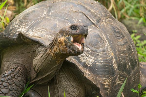 Giant turtle Stock photo © pxhidalgo