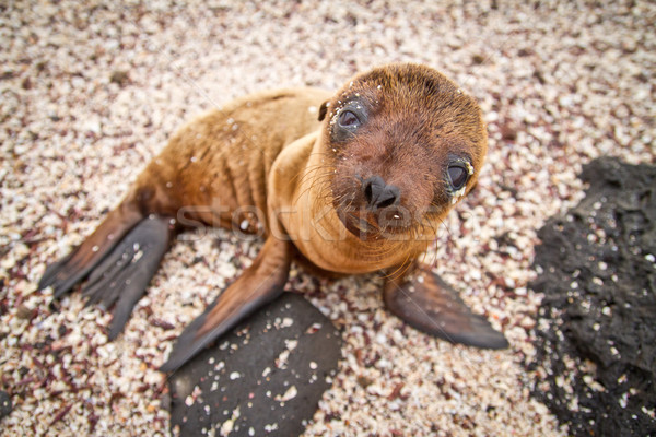 Baby Galapagos sea lion looking at the camera Stock photo © pxhidalgo