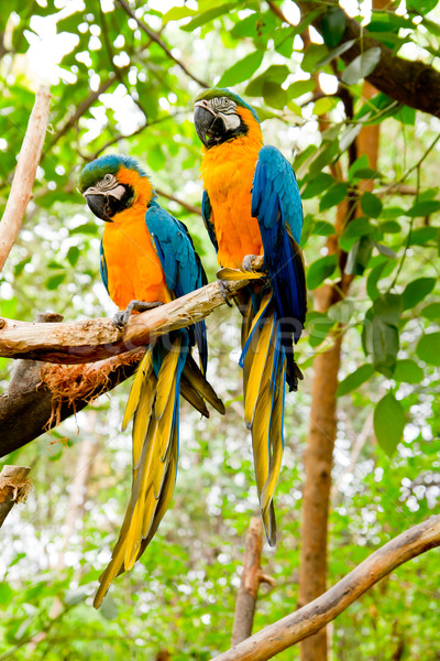Blue-and-Yellow Macaw (Ara ararauna) Stock photo © pxhidalgo