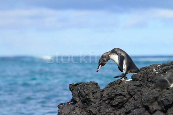 Galapagos penguin having fun walking on the rocks Stock photo © pxhidalgo