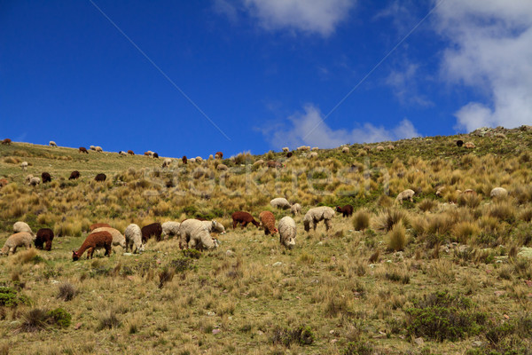 Guanacoes (Lama guanicoe) Stock photo © pxhidalgo