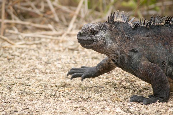Marine iguana, Galapagos Islands, Ecuador Stock photo © pxhidalgo