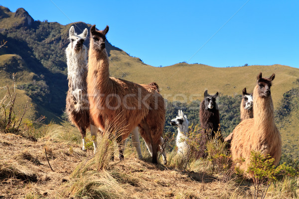 Alpacas at the Pasochoa volcano, Ecuador Stock photo © pxhidalgo