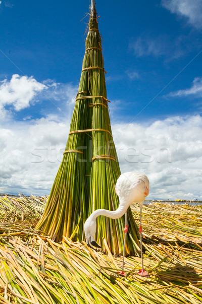 White Flamingo on the islands of Uros Peru Stock photo © pxhidalgo