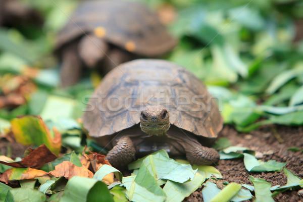 Little baby turtle crawling, Galapagos Stock photo © pxhidalgo