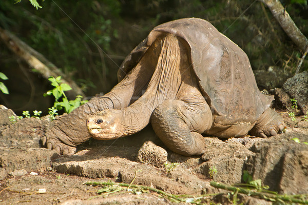 Lonesome George Galapagos, taken a few days before his death Stock photo © pxhidalgo