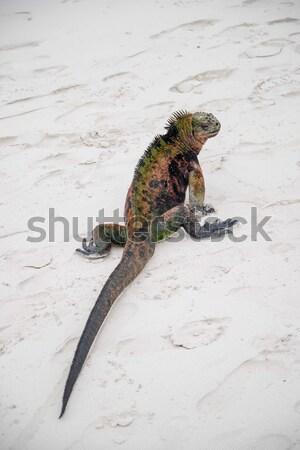 Groene leguaan draak schaal helm hagedis Stockfoto © pxhidalgo
