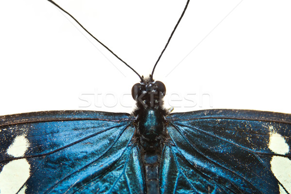 Blue butterfly closeup isolated on white Stock photo © pxhidalgo