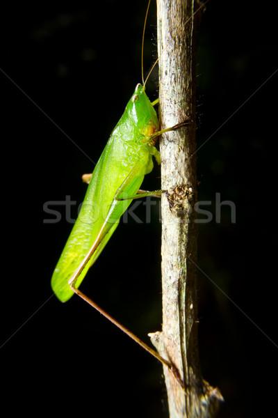 зеленый насекомое кузнечик филиала трава природы Сток-фото © pxhidalgo