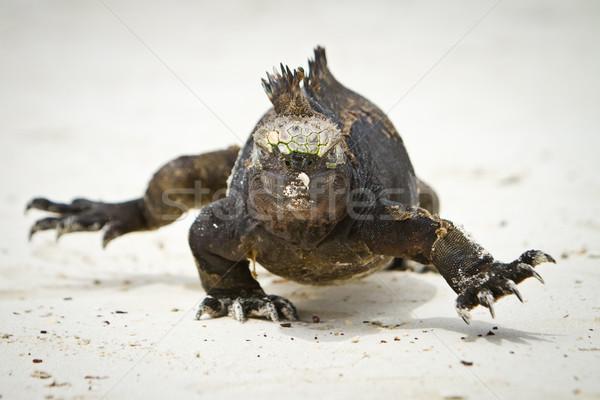 Marine Iguana walking straight at you Stock photo © pxhidalgo